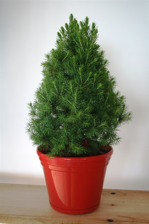 Live Christmas Trees In Pots
